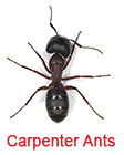 Carpenter Ant Prevention Woodstock GA