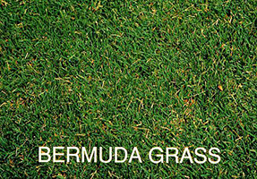Common Bermuda Grass Marietta GA