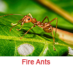fire ant extermination Sandy Springs ga