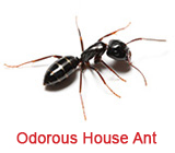 odorous house ant extermination Sandy Springs ga