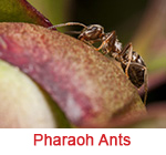 pharaoh ants Sandy Springs ga